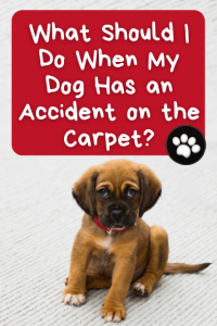 What Should I Do When My Dog Has an Accident on the Carpet?